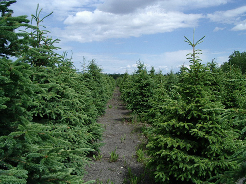 Coniferous Trees And c...